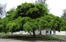 Perlakuan Herbarium Beringin (Ficus benjamina L.)