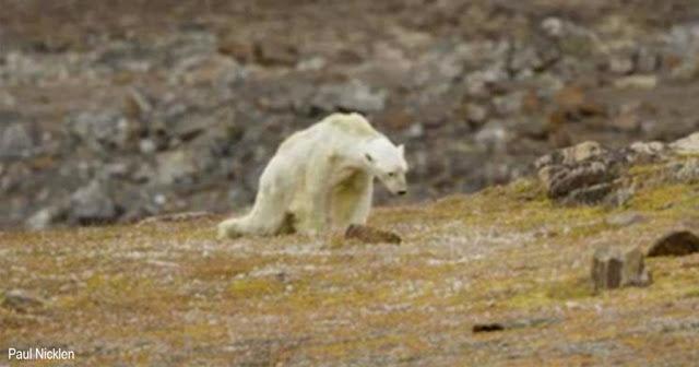 Белый медведь может уйти из жизни из-за безразличия людей