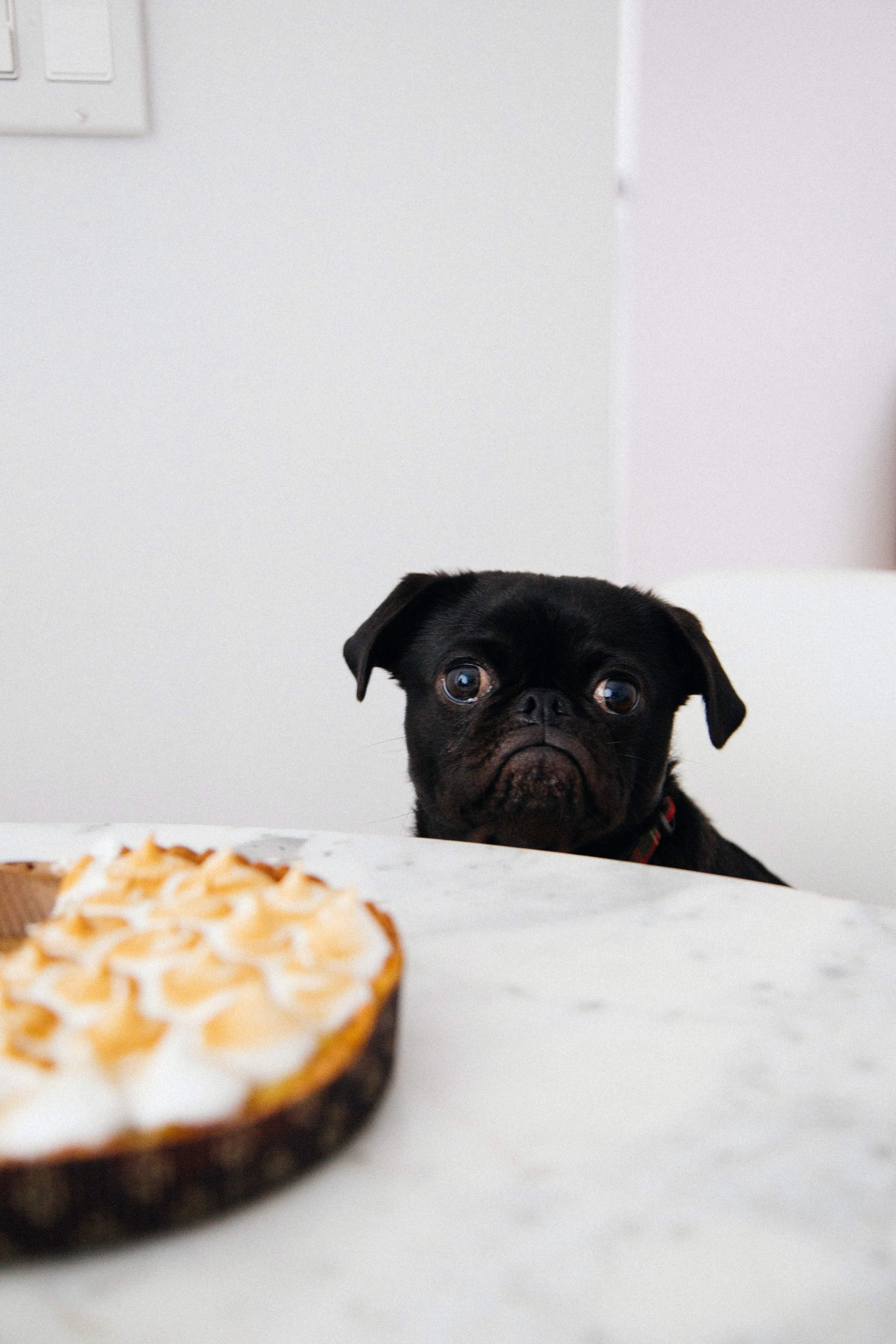 sad, miserable, dog, pug, sad face, face,