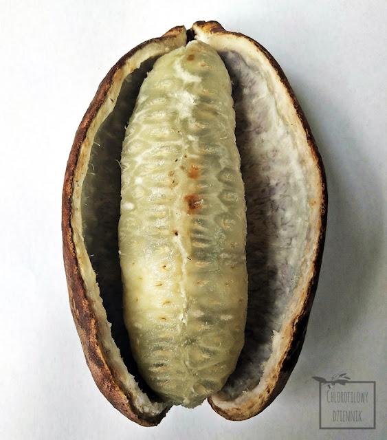 Ciekawe i dziwne owoce z Chin, chińskie pnącza o jadalnych owocach, 八月瓜 , Chinese Blue Sausage Vine (Holboellia coriaceae), Holboellia latifolia fruit