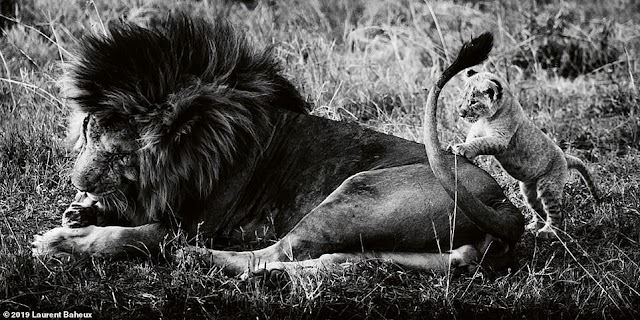 The majestic lion king in beautiful black and white photos