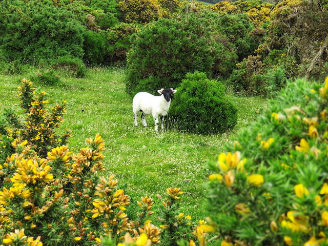Lamb spotted on a Carlingford walk in Ireland