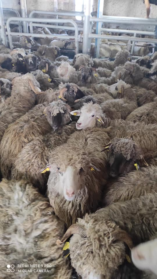 Minister of Agriculture: Supply of animal ships stuck with 310 tons of feed and water, and continuous coordination with the Suez Canal Authority to provide full care for livestock on board ships, including the Lady Maria ship
