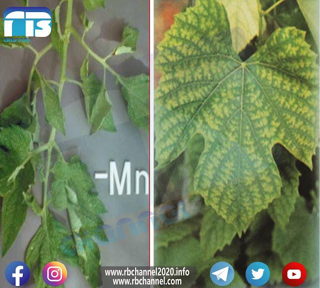 المنغنيز في التربة والنبات | العناصر المغذية الصغرى