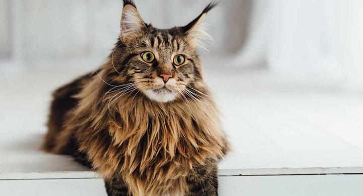 Gambar kucing maine coon