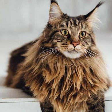 Daftar Harga Kucing Maine Coon