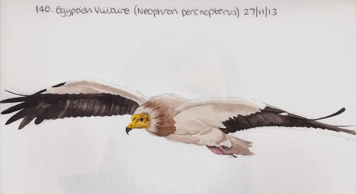 egyptian vulture drawing - photo #37