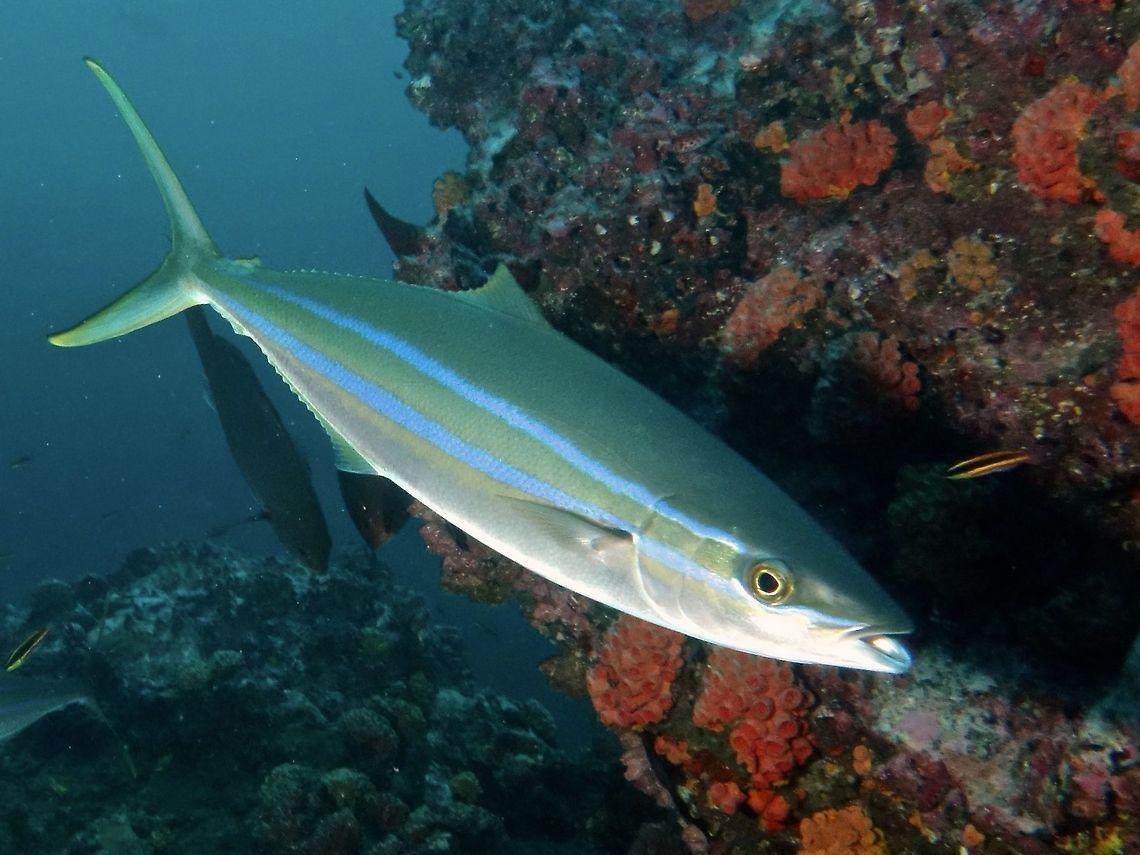 Peixe Rei ou  Arabaiana-azul (Elagatis bipinnulata)