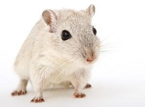 Chuột ăn gì? - Chuột thú cưng
