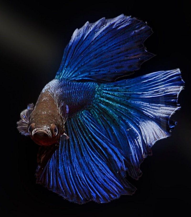 Photo Blue Betta Fish