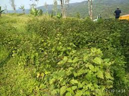 Syarat Tumbuh Tumbuhan Nilam