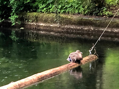 a duck standing in the rain on a log suspended across a moat