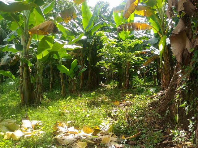 Kebun pisang sumber pakan jangkrik murah meriah