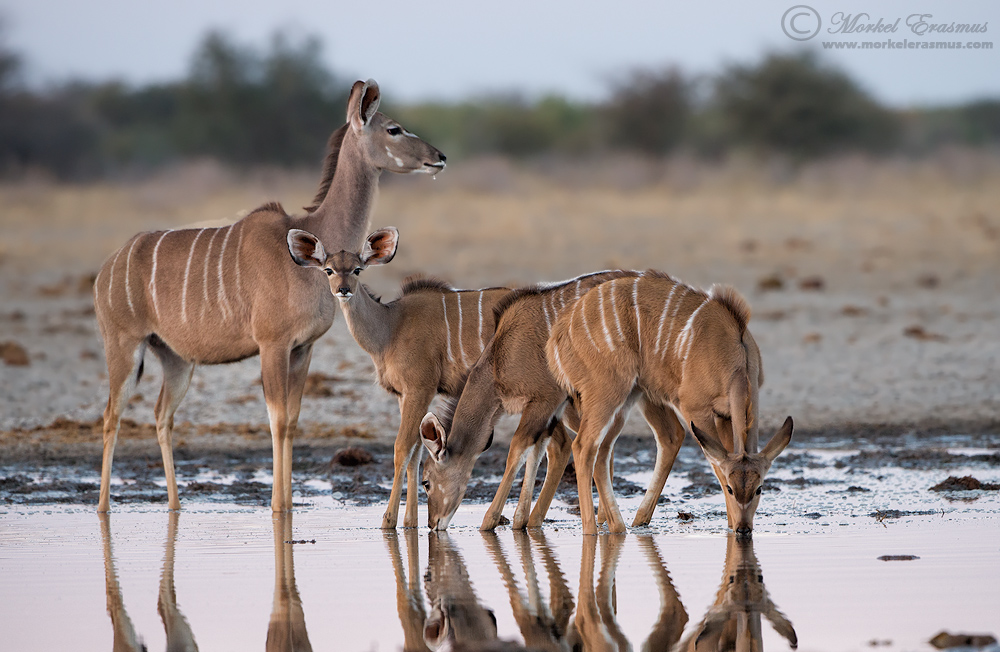 Thirst of a Kudu