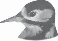 gambar Bentuk Paruh Burung Pelatuk