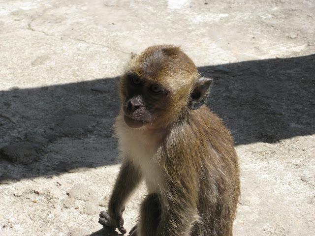Thaimaa apina