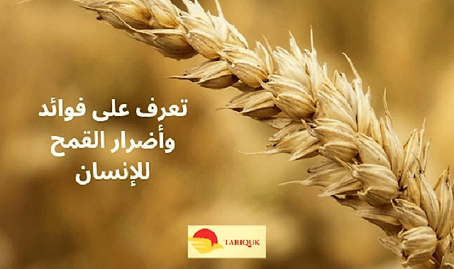 تعرف على فوائد وأضرار القمح للإنسان