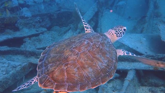 Veterans Ocean Adventures and Veterans Adaptive Sports SCUBA Dive