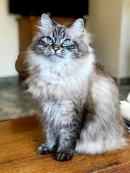 أجمل قط في العالم قط السيبيري