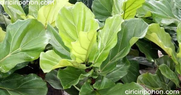 ciri ciri pohon ketapang biola