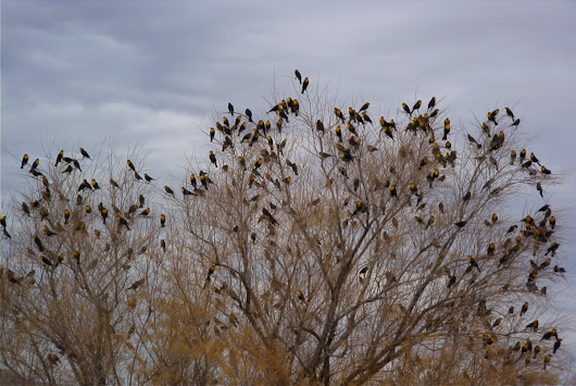Wordless Wednesday: Yellow-headed Blackbirds in Arizona in the Mid-Nineties.
