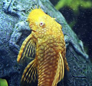 Ikan Plecostomus Algae Eater untuk Aquascape