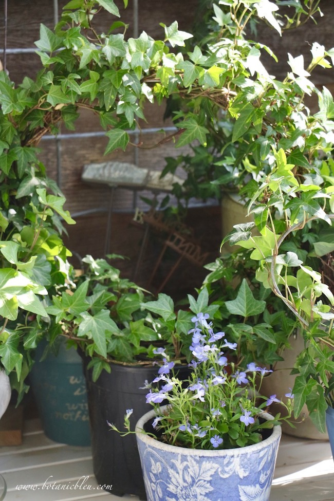 French Country Spring potting table with blue lobelia bedding plant and ivy wreath