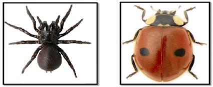 Amatilah hewan laba-laba dan serangga. Jika sulit menemukannya, kamu dapat menggunakan gambar atau video. Temukan perbedaan antara labalaba dan kumbang dengan melengkapi gambar dan tabel di bawah ini.