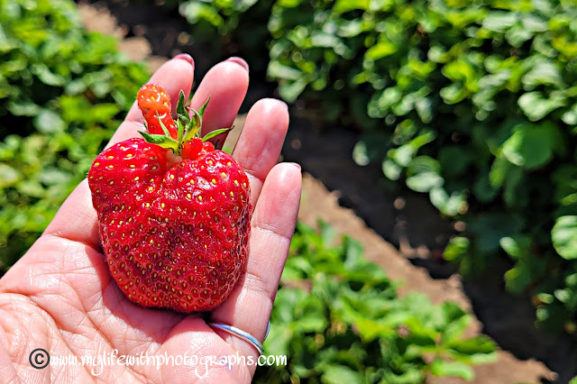 Big and weird looking strawberry but oh so sweet