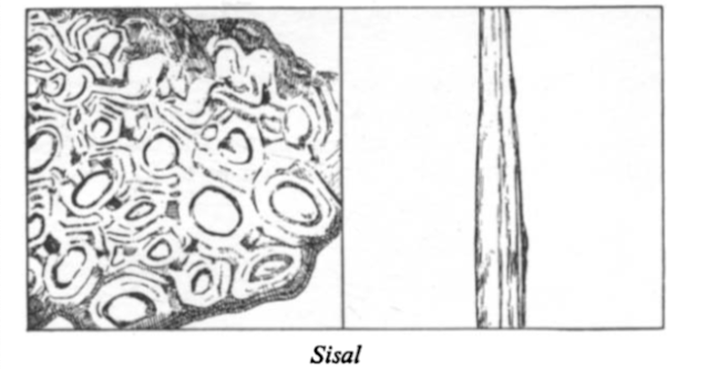 STRUCTURE  OF SISAL FIBRE