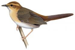 Buff-banded Bushbird