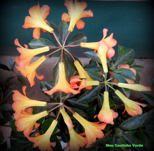 Rhododendron vireya