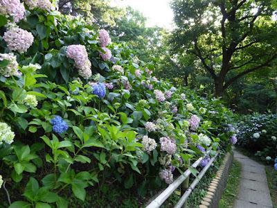 山田池公園 あじさいの小径(こみち)