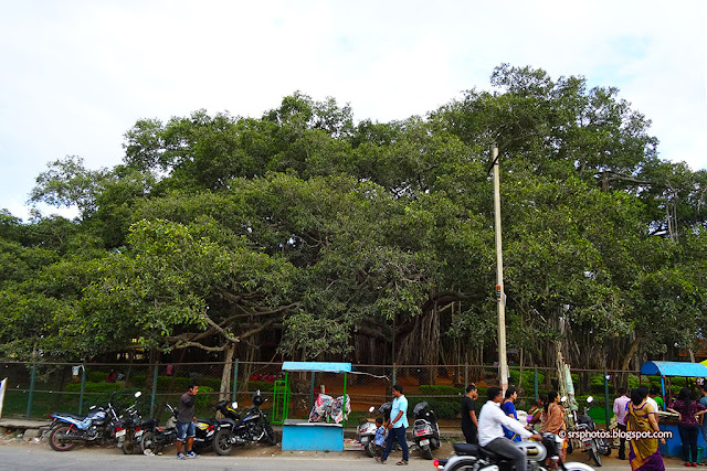 Landscape View of the Big Banyan Tree, Bangalore