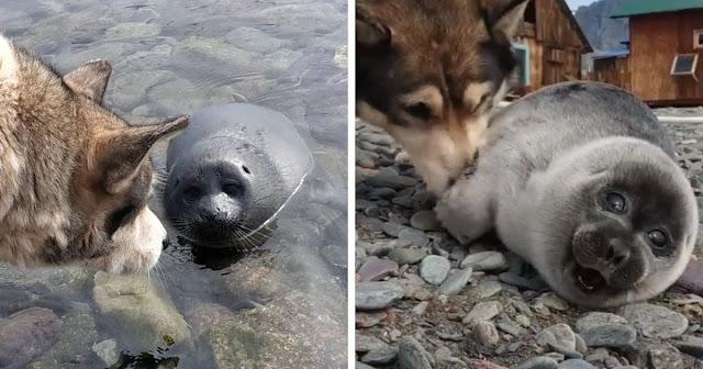 На Байкале собака помогла спасти малыша нерпы, приняв его за щенка. И их дружба — это мимими