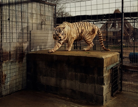 león blanco enjaulado