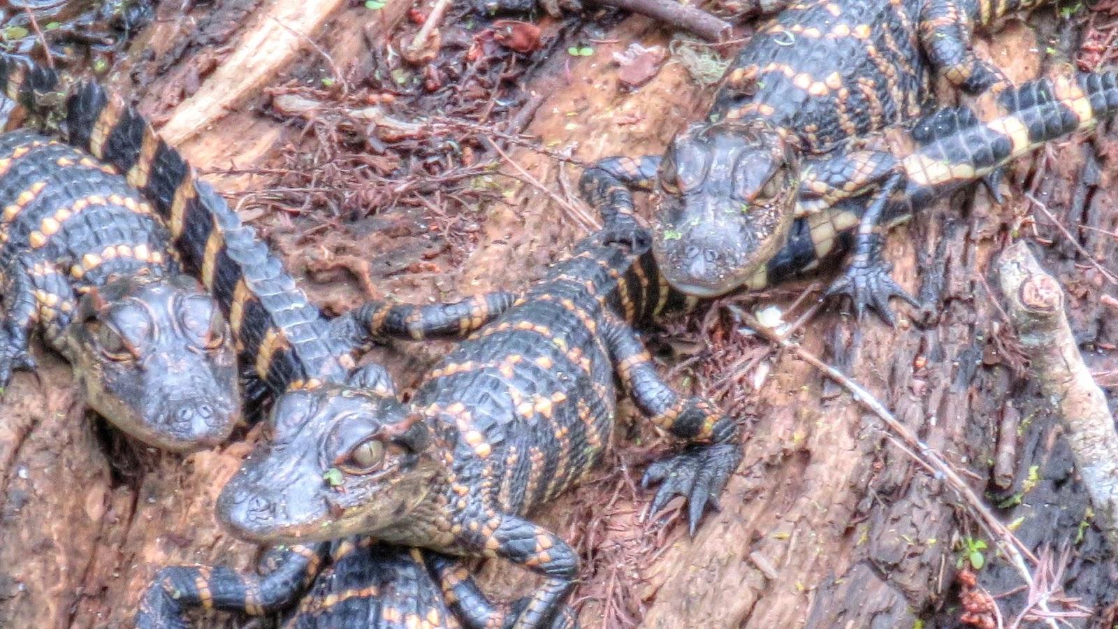 Backyard Birding And Nature Cute Baby Alligators