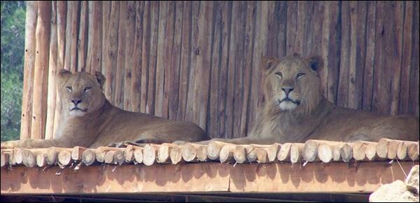 Les Lions de l'Atlas au Zoo de Rabat