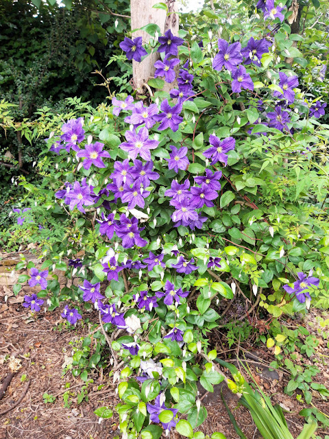Clematis plant covered in large purple flowers, with more unopened buds