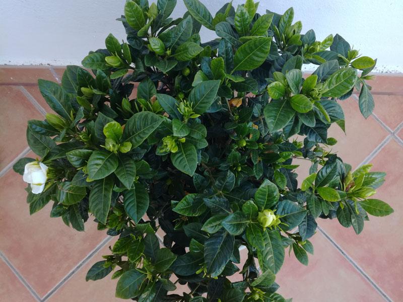 Gardenia a maggio