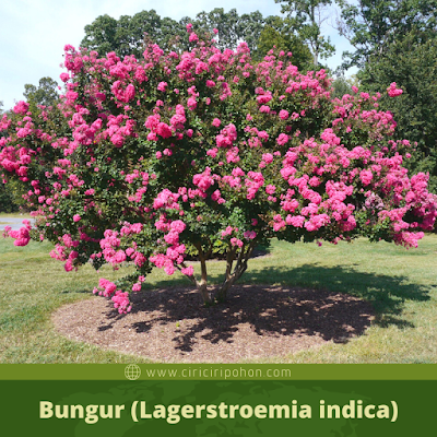 Bungur (Lagerstroemia indica)
