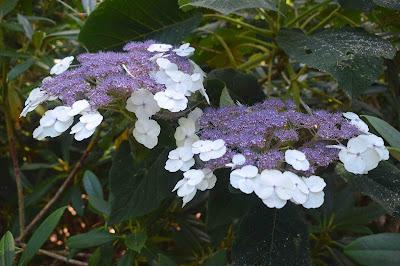 Hydrangea aspera ssp. sargentiana