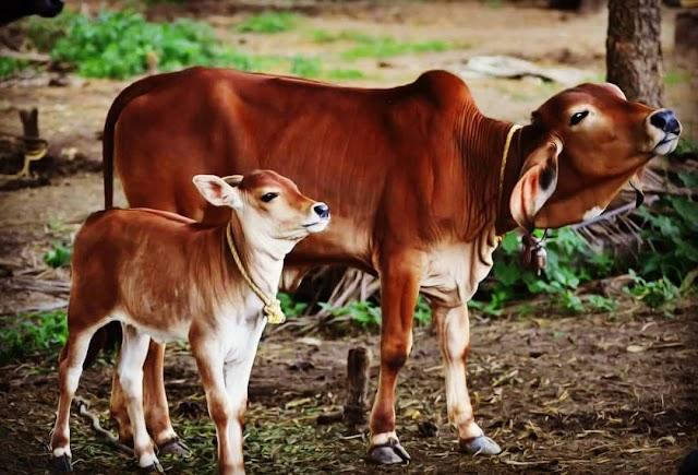 ગાય ભેંસ ખરીદતી વખતે ઘ્યાન રાખવા જેવી બાબતો