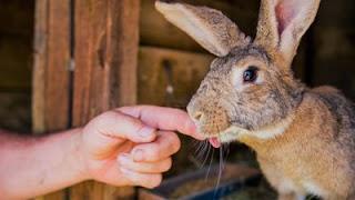 Trik dan Cara Beternak Kelinci Lokal yang Benar dan Lengkap