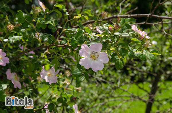 Dog-rose (Rosa canina) plant