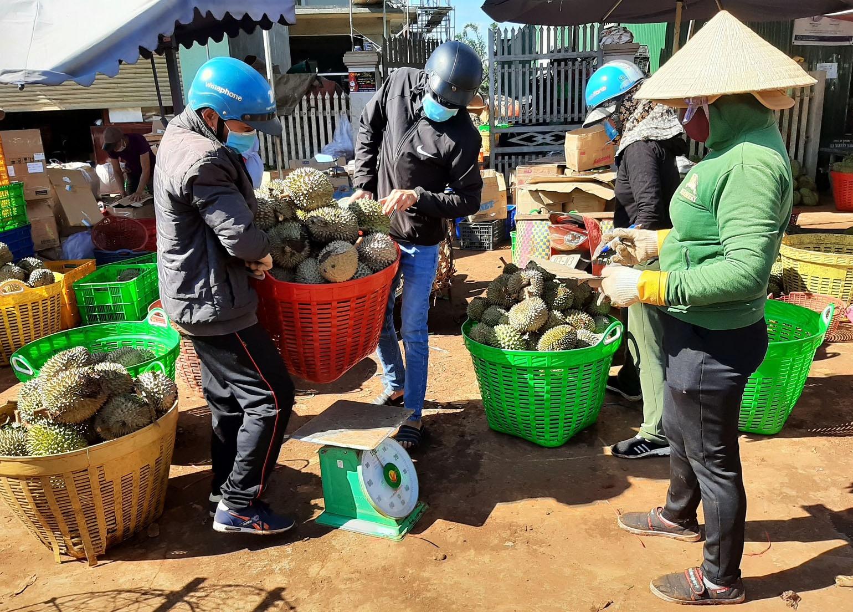 Rất ít thương nhân đặt cọc mua tại vườn nên nông dân phải đem sầu riêng đi bán ở các cơ sở thu mua. Ảnh: Trung Chuyên