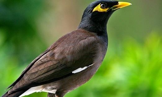 Kabar Terbaru Download Bunyi Burung Jalak Nias Gacor Juara Mp3 Untuk Masteran Kabarterbaru Co