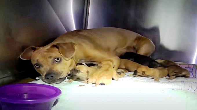 Homeless Mama Dog Kisses Her Puppies One By One As Rescuer Pulls Them To Safety
