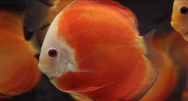 Red melon in tank, white face, many discus