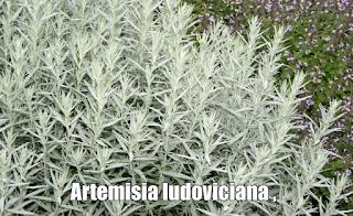 Artemisia ludoviciana , propiedades, beneficios y usos